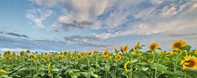 Field of sunflowers. A field of sunflowers with all the flowers turned in the same direction on a summer evening Royalty Free Stock Photos