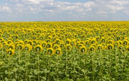 Field of sunflowers back. Bright blooming sunflowers meadow. Summer sunny landscape. royalty free stock photos