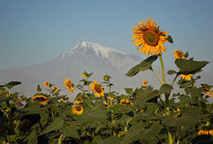 Field of sunflowers on a background of Ararat Royalty Free Stock Images