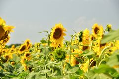 Field of sunflowers on a background of blue sky Stock Photography