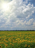 Field of sunflowers on a background of the cloudy Royalty Free Stock Photography