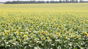 Field with sunflowers Royalty Free Stock Photos