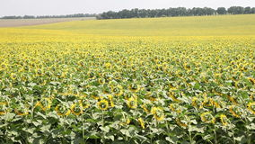 Field with sunflowers Stock Photography