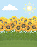 Field of sunflowers. On a background of the sky Stock Images