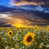 Field sunflowers on a background sunset Stock Image