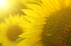Field of sunflowers backlit Royalty Free Stock Photo