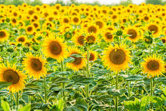 Field of sunflowers backlit Stock Image