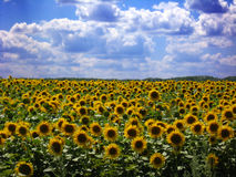 Field with sunflowers. Field with beautiful sunflowers on the blue sky background Royalty Free Stock Photography