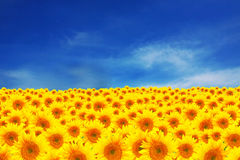 Field of sunflowers with beautiful clue sky stock photos