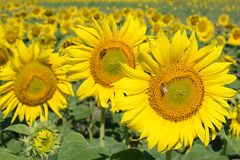Field of sunflowers. Bees collect honey and pollen on sunflowers. Sunny summer day royalty free stock photos
