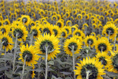 Field of sunflowers from behind Stock Photography