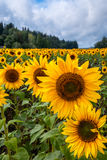 Field of sunflowers. Big flowers on foreground Royalty Free Stock Images