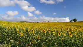 Field of sunflowers in bloom Stock Photography