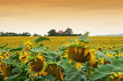 The field of sunflowers Royalty Free Stock Photos