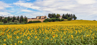 Field of Sunflowers. Field of blooming sunflowers on a background of blue sky Stock Photography