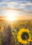 Field of sunflowers. Field of blooming sunflowers on a background sunset Stock Images