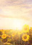 Field of sunflowers. Royalty Free Stock Photography