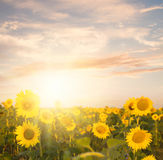 Field of sunflowers. Field of blooming sunflowers on a background sunset Stock Photos