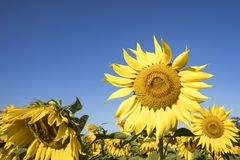 Sunflower blosssom  in field  against blue skies in early mornin. Field of sunflowers blooming in early morning sun against blue skies Royalty Free Stock Photo