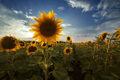 Field of sunflowers. Blooming flower with a single dominant Stock Photo