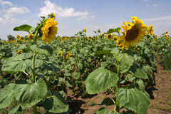 A field of sunflowers. Field with blossoming sunflowers on background of blue sky Stock Image
