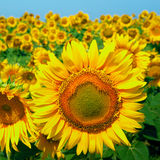 A field of sunflowers on blue sky Stock Images