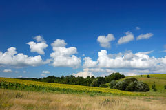 Field of sunflowers and blue sky. Field of flowerings sunflowers by a bright sun day Royalty Free Stock Photo