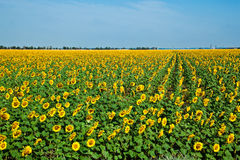 A field of sunflowers on blue sky Royalty Free Stock Image