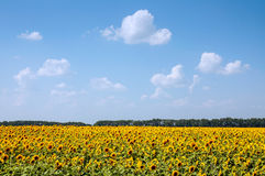 Field of sunflowers and blue sky Stock Photography