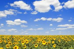 Field of sunflowers and blue sky Royalty Free Stock Image