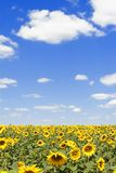 Field of sunflowers and blue sky Royalty Free Stock Photos