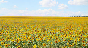 Field of sunflowers. And blue sky Stock Photos