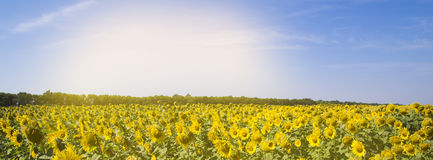 Field with sunflowers and blue sky banner Stock Images