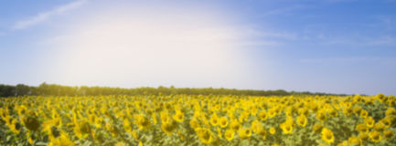 Field with sunflowers and blue  sky blurred banner Royalty Free Stock Photography