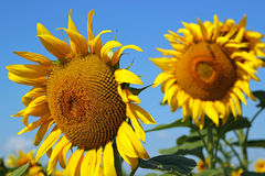 Field of Sunflowers and Blue Sky Stock Images