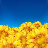 Field of sunflowers and blue sky. EPS 10 Royalty Free Stock Image