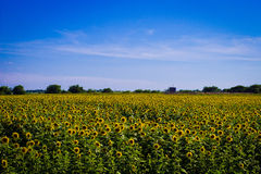 Field of Sunflowers with Blue Sky Royalty Free Stock Images