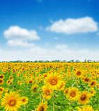 Field with sunflowers and blue sky Royalty Free Stock Photo