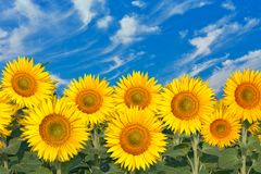 Sunflowers field Royalty Free Stock Image