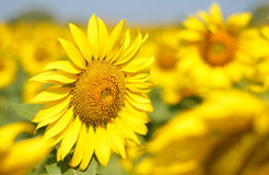 Field of sunflowers and blue sky. Royalty Free Stock Images