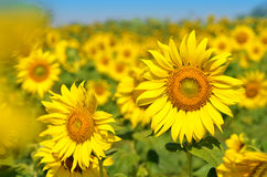 Field of sunflowers and blue sky. royalty free stock image