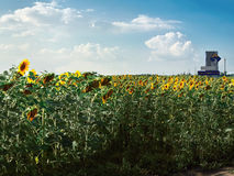 A field of sunflowers on a bright sunny summer day on a background of the cloudy sky Royalty Free Stock Image