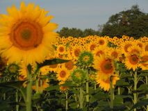 Field of sunflowers with closeup of one sunflower Royalty Free Stock Image