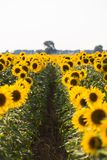 Field of sunflowers. Composition of nature.  Royalty Free Stock Photo