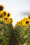 Field of sunflowers. Composition of nature.  Stock Image