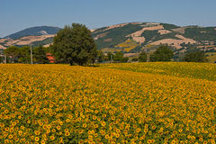 Field of sunflowers. In the countryside of the Marche region in Italy Royalty Free Stock Image