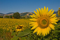Field of sunflowers. In the countryside of the Marche region in Italy Royalty Free Stock Photos