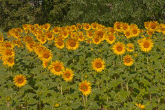Field of sunflowers. In the countryside of the Marche region in Italy Royalty Free Stock Images