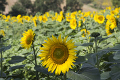 Field of sunflowers detail, Perugia countryside Stock Photo