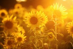 Field of sunflowers in evening backlight. Picture of a field of sunflowers in evening backlight royalty free stock image